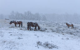 Horses In The Snow Stock Photography