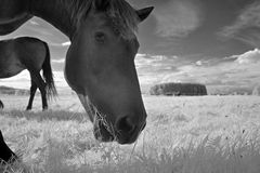 Horses infrared Stock Image