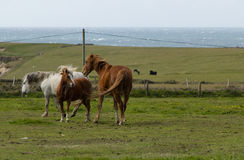 Horses of Ireland Royalty Free Stock Photography
