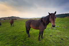 Horses in Irish countryside Stock Photos
