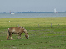 Horses on the island of juist Stock Photos