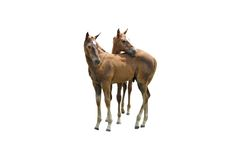 Horses isolated. A isolated pictur eof two colts on white Stock Images