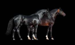 Horses isolated on black. Two dark horses standing together on black background. Royalty Free Stock Images