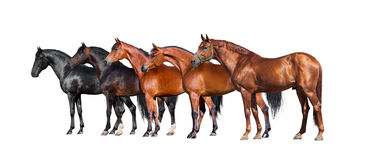 Horses isolated on white. Group of different horses standing on white background. Stock Photography