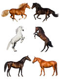 Horses isolated on white Royalty Free Stock Photo