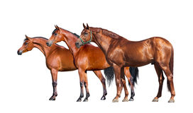 Horses isolated on white. Group of three horses standing on white background Stock Photography