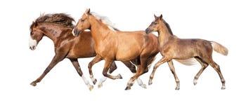 Horses isolated on white royalty free stock images