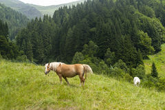 Horses in the italian mountains Royalty Free Stock Photo