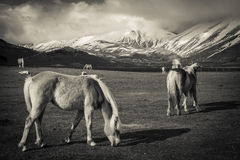 Horses in the italian mountains - HDR. Photo of Horses in the italian mountains - HDR Royalty Free Stock Images