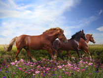 Horses jumping on a flowering meadow Royalty Free Stock Photo