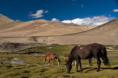 Horses in Karzok, Ladakh, India. Horses in Karzok valley, near Tso-moriri, lake in Ladakh, India. The lake lies at an altitude of 4600 meters on the Himalayas Royalty Free Stock Images