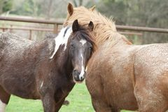 Horses keep close in a field for warmth. Two horses nudge each other in an open filed Royalty Free Stock Image