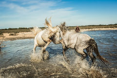 Horses kick. Two white stallions rearing up andkicking each other in water Royalty Free Stock Photos