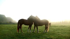 Horses kissing on green field. Horse couple. Horses love. Horses kissing on green field. Horse couple at farm ranch. Two horses walking on pasture at animal farm stock video footage