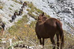 Horses in Kyrgyzstan mountain landscape at landscape of Ala-Archa gorge. stock image