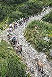 Horses laden with baggage climb the mountain Stock Images