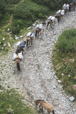 Horses laden with baggage climb the mountain. Trail. Mountain lift. Summer time Royalty Free Stock Images