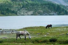 Horses at Lake Akkem. Trekking in the Altai Mountains Stock Images