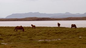 Horses by a lake stock video footage