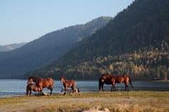 Horses at the lake. Horse on the shore of Lake Teletskoye Royalty Free Stock Image