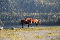 Horses on the lake. Horses on the shore of Lake Teletskoye autumn on a background of mountains Stock Photo