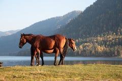 Horses on the lake. Horses on the shore of Lake Teletskoye autumn on a background of mountains Stock Photos