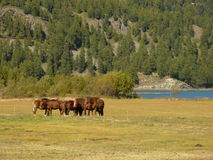 Horses at Lake Silvaplana Stock Photo