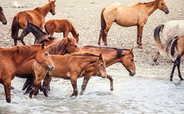 Horses. At the lake at the waterhole Royalty Free Stock Photos