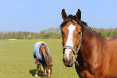 Horses in landscape Stock Images