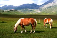 Horses with landscape. Image of two horses with landscape in background in Castelluccio di Norcia - umbria - italy Stock Image