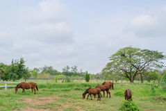 Horses on landscape view and on a farm with green grass,. Brown horses on landscape view and on a farm with green grass Royalty Free Stock Image
