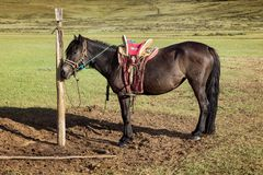 Horses on a leash Royalty Free Stock Photography