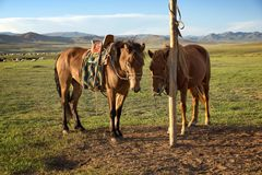 Horses on a leash Stock Image