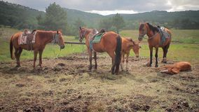 Horses on a leash against mountains stock video