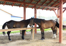 Horses on a leash under the canopy. Royalty Free Stock Photos