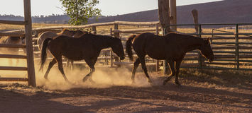 Horses Leaving the Corral stock photography