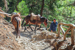Horses led by a guide, are used to transport tired tourists in Samaria Gorge in central Cret Stock Photo