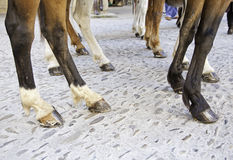 Horses legs Stock Photography