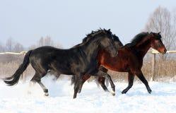 Horses at liberty Royalty Free Stock Photo