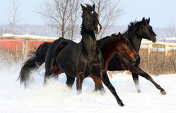 Horses at liberty. Troika stallions, gallop in the snow, thoroughbred horses, black stallion royalty free stock photo