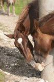 Horses lick salt block. Two horses lick salt block in a hot summer day Royalty Free Stock Photography