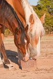 Horses licking on a salt block Royalty Free Stock Photo