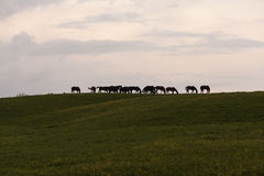 Horses in line Stock Images