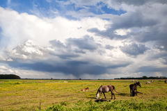 Horses and little foals on pasture grazing Royalty Free Stock Photography