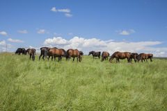 Horses livestock Royalty Free Stock Images