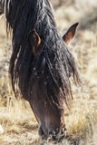Wild horse grazing with weed seed covered mane Stock Photos