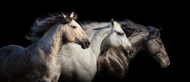 Horses with long mane Royalty Free Stock Photography