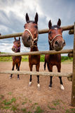 Horses look out of the aviary. Horse-racing club in Moldova. The elongated snout wide-angle lens. Funny perspective view of red bay horses stock image