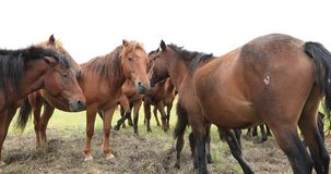 Horses looking at camera on the grassland. Group of horses looking at camera on the grassland stock video footage