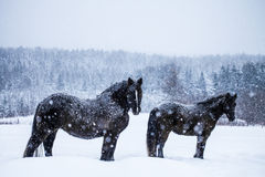 Horses Looking at the Camera during a Snowstorm Royalty Free Stock Photography